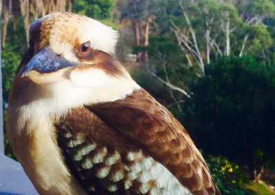 kookaburra_2 copy